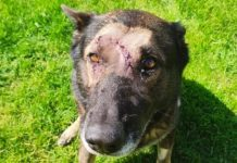 Police dog stabbed five times in head while tackling intruder (Photo)
